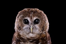 """Owls Only / """"A wise old owl sat on an oak; The more he saw the less he spoke; The less he spoke the more he heard; Why aren't we like that wise old bird?"""" / by Caisue's Photography"""
