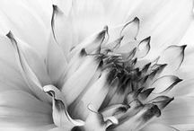 The monochrome photograph of a flower