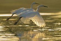Birds of Water / Cranes, Egrets, Herons, Ibises, Pelicans, Puffins, Seagulls, Spoonbills, Storks / by Candie Vaughan