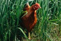 Portraits of Hens, Chicks and Roosters / A collection of our favorite chick pics!