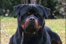 ☠Rottweilers☠ / by Todd Alvey