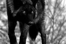 """In the Company of Wolves / """"Little girls, this seems to say / Never stop upon the way / Never trust a stranger friend / No-one knows where it may end / As you're pretty, so be wise / Wolves may lurk in every guise / Now as then, 'tis simple truth / Sweetest tongue has sharpest tooth."""" --Rosaline"""
