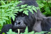Gorilla Tracking / Gorilla trekking images from Rwanda, Uganda, DR COngo. You have to do it once in your life. I hope to do it again.