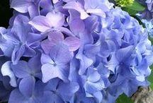 Hydrangeas & Lavender ! / My favorite flower is hydrangea!  Lavender smells so nice!   / by Robyn M Stohlman