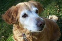 Old Dogs We Love / We are partial to senior dogs.This board is all about the beauty in older dogs. Those white whiskers and grey muzzles tug at our heart like no other.