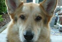 Best of Cleo's Blog / Cleo is an unofficial ambassador for large, adult dog adoptions. As of 2014 she's a senior dog teaching us all how to age gracefully.