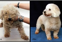 Before & After / Watching the transformation from scared puppy mill dog to well-adjusted and beloved family pet is most heartwarming. Visit National Mill Dog Rescue and see how you can help change the lives of puppy mill dogs: http://milldogrescue.org/ / by National Mill Dog Rescue