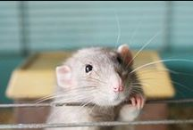 ratties / Rats,rattie,rat,animal,cute,pets,sweet,love,picture,photo,