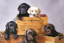 Labs and Shepherds / My favorite dogs - And part of our family too! / by Tina Rae