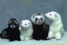 Skunks and Ferrets / by Kaci Bergren