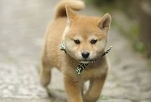 Shiba Shiba Shiba! / Been desperately wanting a shiba inu for the last six years... Here is my visual ode to the shiba!