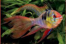 Freshwater Fish / Freshwater Fish