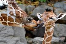 Giraffes / by Deb Fuss