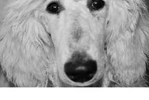 SPOOS (Standard Poodles)