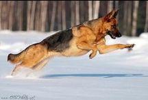 German Shepherd Dogs!