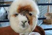 Camelids -Llamas, alpacas, vicuñas