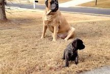 Our English Mastiffs / We have 2 English mastiffs who rule our lives. They both worship Hubs and me? I'm dry kibble. in 2013, in 2015 Shadrach crossed the rainbow bridge, and on March 29, 2017, Ollie followed him. It broke our hearts.