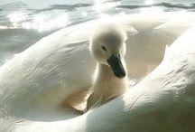 Peacocks & Swans / by Stevie Jean Adamovsky