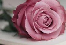 Color | Lavender | Antique Rose / Color