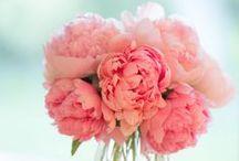 ~Peonies~ / Peonie flowers are my favorite flower.