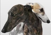 sighthounds