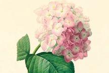 Posters Vintage Botanique / Vintage Botanical Posters