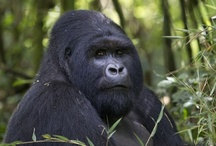 African Natural Events / There's always a special event to be witnessed in Africa. From the natural phenomenon of The Great Migration in Tanzania and Kenya to the flooding of the Okavango Delta in Botswana, the largest inland Delta in the world. Experience the famous Big 5 on a bush safari adventure or the mountain gorillas in Rwanda and Uganda.