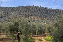 Aceite de oliva de Andalucía / El olivo es un cultivo con el que Andalucía produce entre 500.000 y 800.000 toneladas de aceite de oliva por campaña. No en vano, el territorio andaluz cuenta actualmente con alrededor de un millón y medio de hectáreas de olivar, cifra que corresponde a un tercio de las tierras cultivables, y al 16 % de su superficie total.