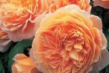 My Garden Favorites / Beauties from my own garden... / by Halleck Horticultural