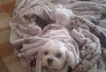 Maltese & others dogs