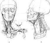 Anatomy / how to draw humans