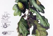 Botanical illustration / Nature and drawings