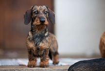 Doxies i love