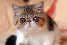 EXOTIC SHORTHAIR / I love exotic shorthair cats, they are my FAVOURITE types of cats!