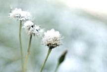 Flowers ~ White