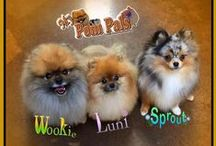 My Pom Pals / My Pom Pals is about our Pomeranian dogs Wookie, Luni, Sprout, Mouse & Petal. This page is dedicated to their fun, spirit and daily lives. They do some animal acting thanks to Arizona Animal Actors, all sorts of tricks thanks to Club-Doggie.com and show us all how smart little dogs can be. Check out their Facebook page and like it for the most recent updates - My Pom Pals. Watch Sprout's Petsmart Commercials on Youtube.   https://www.facebook.com/mypompals