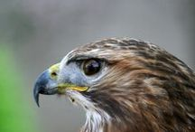 OUR FEATHERED FRIENDS: Raptors ~ Birds of Prey / No images using Photoshop or manipulation ALLOWED / by Diane Davis