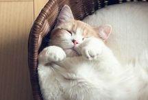 Felis catus / A collection of my favorite feline companions