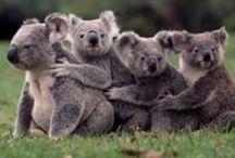 Australian Animals / Native Animals to Australia / by Yank in Australia .