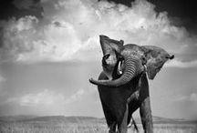 """Afrika spüren / In Kooperation mit der Organisation """"Pro Wildlife"""" setzt sich Gudrun Sjödén für den Schutz des vom Aussterben bedrohten afrikanischen Elefanten ein. Machen Sie mit und bewahren Sie den afrikanischen Elefanten vor dem Aussterben. Ganz einfach das Shirt """"Elefant"""" kaufen, denn 5 € jedes verkauften Shirt geht an die Hilfsorganisaion."""