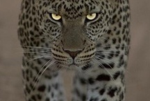 Big Cats / by Julianne McKenna-De Lumen