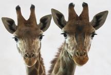 Giraffes / by Mary Kay Crawford