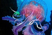 Jelly Fish / All things jelly fish. Spectacular creatures of the ocean. / by Carrie C