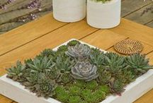 Succulent / Unusual Plants