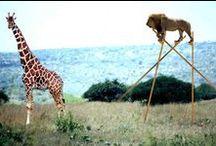 giraffes. / by Olivia C.