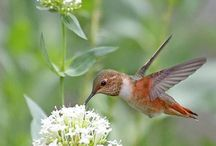 "Hummingbirds / ""Gentle day's flower - The hummingbird competes With the stillness of the air."" — Chogyam Trungpa"