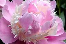 Pretty Peony / peonies flowers