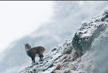 Mountain animals // Les animaux de la montagne