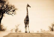 Giraffe / by Ciara Owen