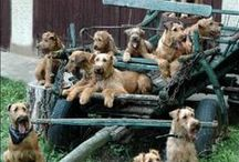 Terriers / Funny, cute and beatiful pictures of airedale, welsh and especially wire fox terriers.